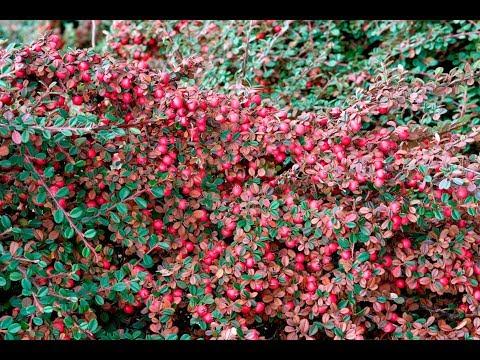 КИЗИЛЬНИК ДАММЕРА КОРАЛ БЬЮТИ   необыкновенно декоративное украшение  цветника