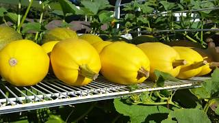 How to Harvest, Harden Off, and Store Spaghetti Squash