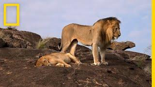 نادي قتال الحيوانات: العدو الداخلي | ناشونال جيوغرافيك أبوظبي