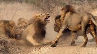 16 lat krwawych rządów - Lwy z Sabi Sand - Discovery Channel