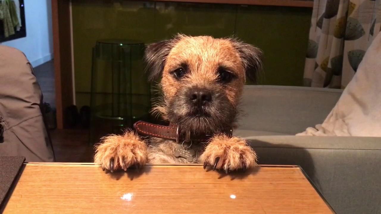 Resultado de imagen para border terrier cute