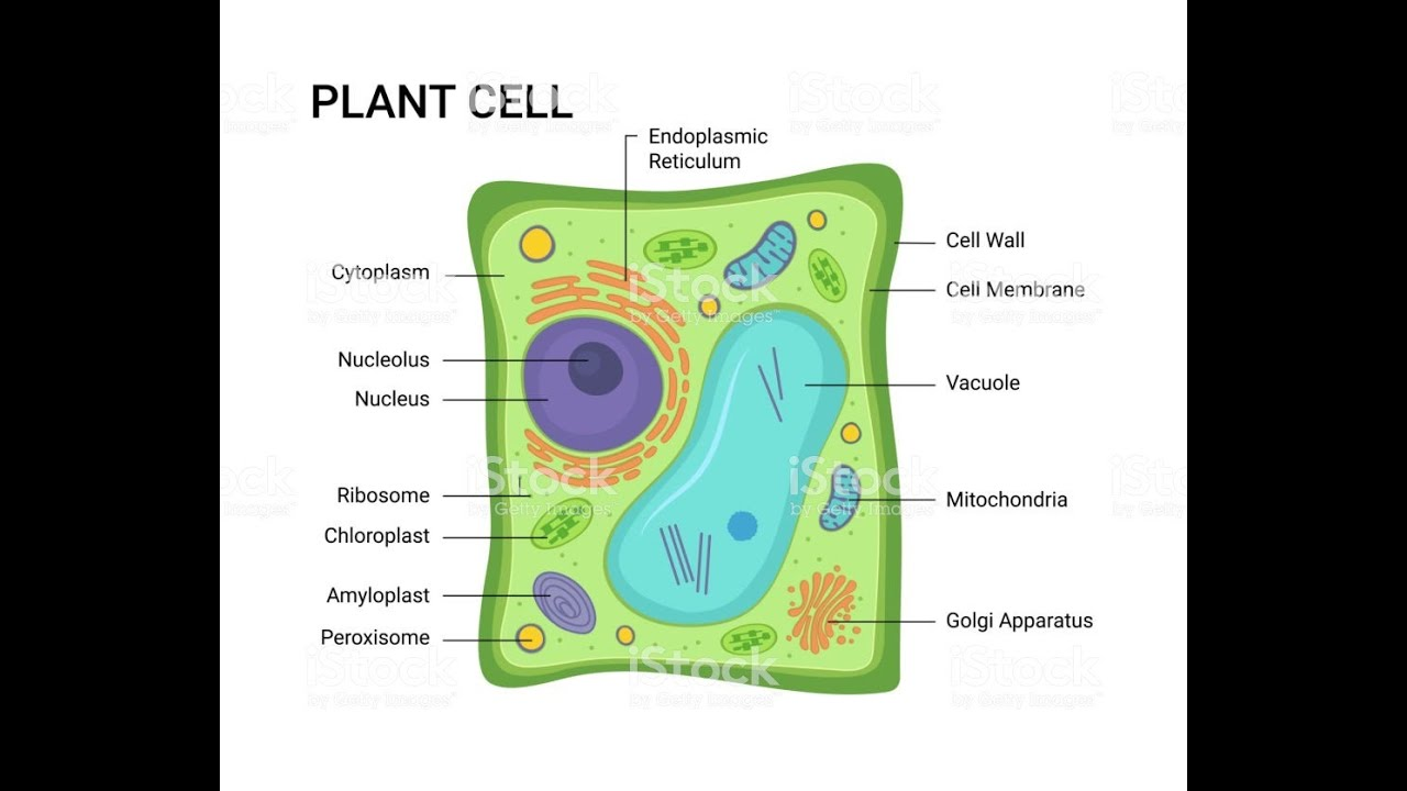 Easy diagram for PLANT CELL....by TEJBIR MAND - YouTube