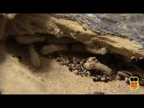 Pest Guide: Drywood Termites