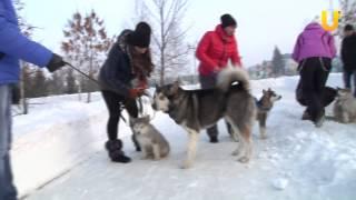Глазами животных, выпуск 179 (Аляскинские маламуты - дружелюбные северные собаки)