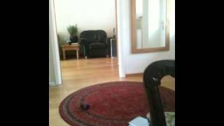Border Terrier Puppy And Jack Russell Playing