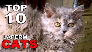 TOP 10 LAPERM CATS BREEDS