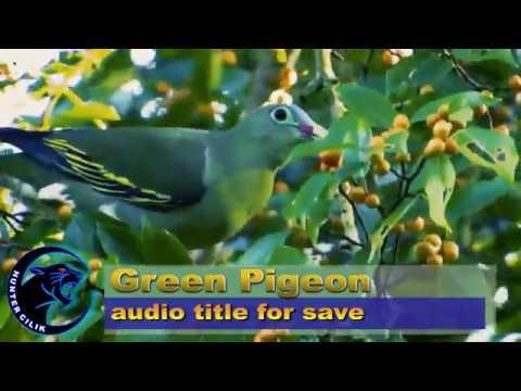 Suara Burung Punai Pikat atau Burung Walik pikat