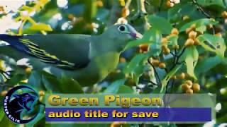 vuclip Suara Burung Punai Pikat atau Burung Walik pikat