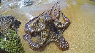 Catching, Cleaning & Cooking Octopus!