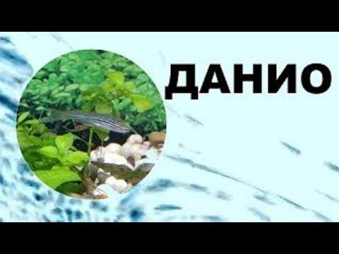 Данио. Содержание, уход, виды, размножение. GloFish.