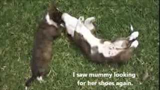 Cute Puppies Discuss Mummy's Shoes (cardigan Welsh Corgi's Fos And Ebo At 10 Weeks)
