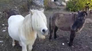 Кормим Пони морковкой. Маленькие лошадки.  Пони