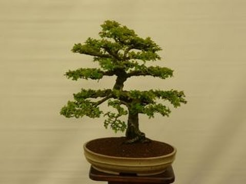 styles for chinese elm bonsai youtube rh youtube com