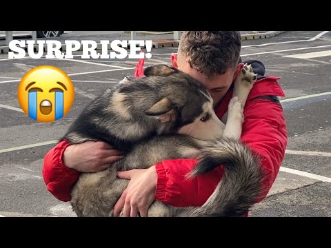 husky-puppy-surprised-dad-at-the-airport!-[cutest-reunion!]