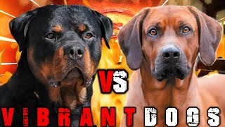 Rottweiler vs Rhodesian Ridgeback | Rhodesian Ridgeback vs Rottweiler | Guard Dog? | Billa Boyka |