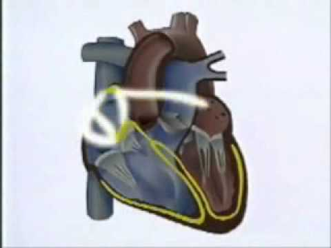 Funcionamiento del Corazón - YouTube