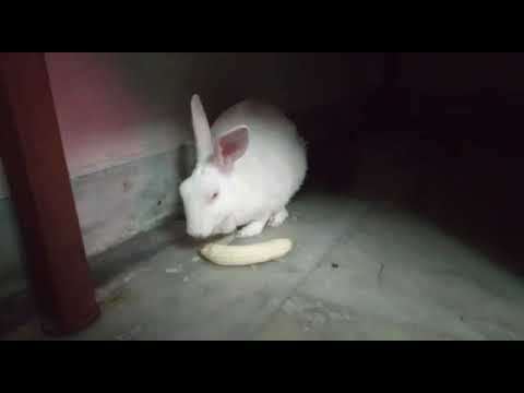 Cute White Rabbit Eating Banana