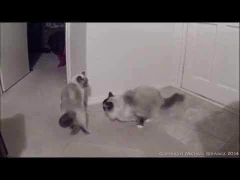 Ragdoll Cats Play Fight - PoathTV Funny Cat Video - PoathCats