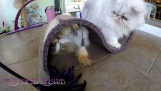 17 04 29 Morning play session with Persian kitty, Sequoia