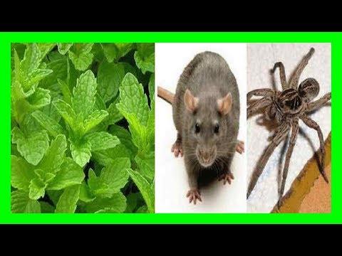 Pon una planta de esta en tu casa y jamás aparecerá una rata ó cucaracha