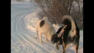 Ухта Коми Зима и Собаки Двое в одной упряжке