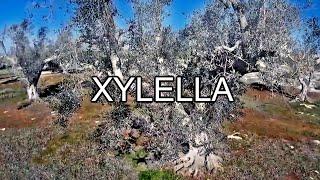 Xylella Fastidiosa, HD