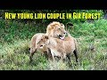 गीर जंगल की नई युवा शेर जोड़ी New young lion couple in Gir Forest