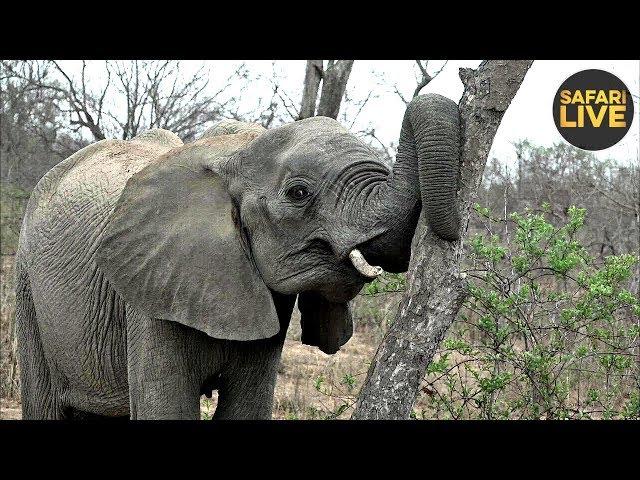 safariLIVE- Sunrise Safari - November 12, 2019