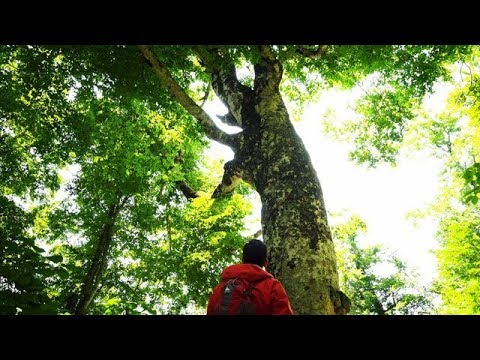 Photo of Journeys in Japan 〜Deep into the Unspoiled Forest: Shirakami Sanchi〜 – video