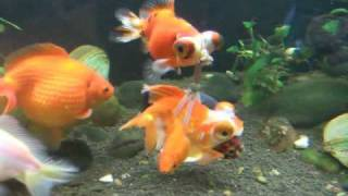 Disabled goldfish in harness thumbnail