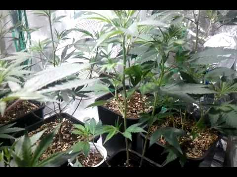 400 watt coco grow tent two week veg update & 400 watt coco grow tent two week veg update - YouTube