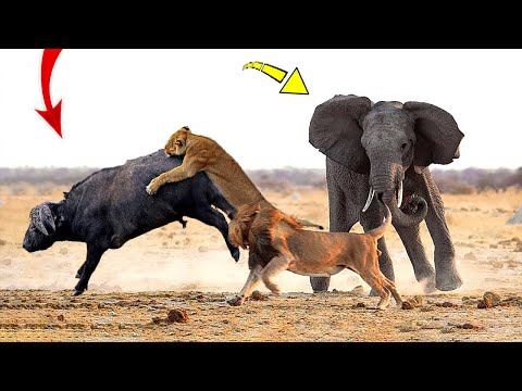 Hero Elephant save Buffalo in despair between King Lions hungry