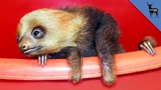 The Strange Pooping Habits Of A Sloth