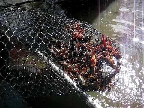 Crawfish Trap In The Atchafalaya Basin Youtube