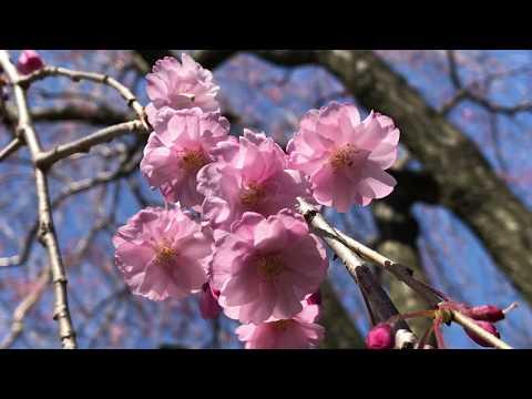 Розовая плакучая сакура Prunus Pendula - NYBG, April 22, 2018