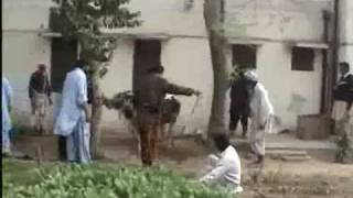 Cow Qurbani 2009 (Best evr fight by a cow against 12(Twelve) Kasai)Lahore Shalamar Town Behzad