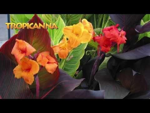 Landscaping Ideas with Tropicanna® cannas