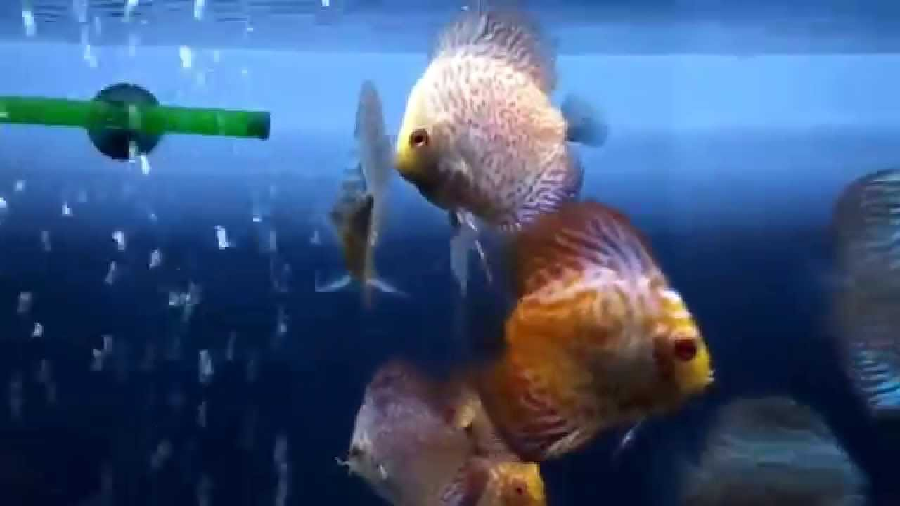 My discus fish eating black worms    YouTube