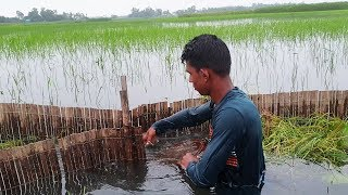 Traditional Fishing in Rainy Season ! Best Country Fish Catching