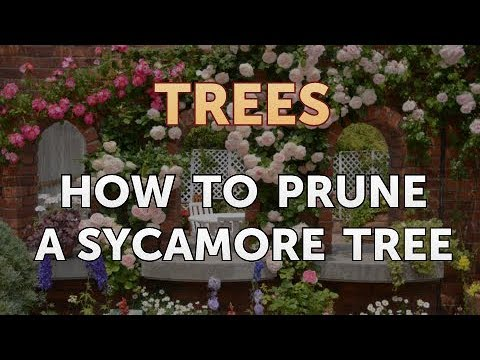 How To Prune A Sycamore Tree You