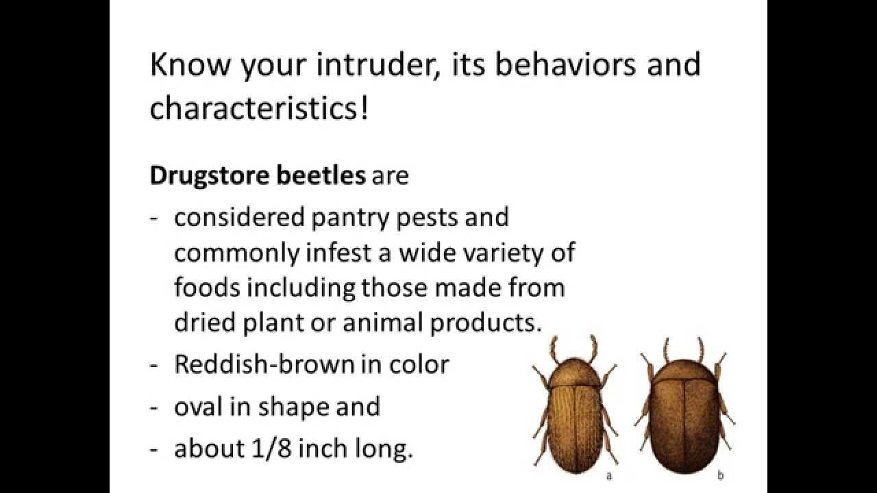 Fly Control, How to Get Rid of Drugstore Beetles - YouTube