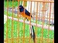 KETAHUILAH!!! Ini 6 Ciri Ciri Fisik Burung Murai Batu Bahorok Paling Akurat