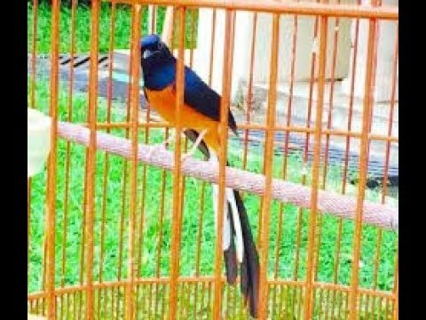 Ketahuilah Ini 6 Ciri Ciri Fisik Burung Murai Batu Bahorok Paling Akurat Youtube