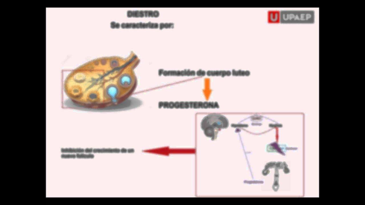 Fisiología del Ciclo Estral - YouTube