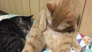 評価&チャンネル登録お願いします♪ 猫娘, 猫娘 6期, 猫だる, 猫缶, 猫カ...