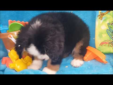MALE BERNESE MOUNTAIN DOG PUUPPY