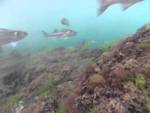 Sea Bass Fishing With Underwater Camera Footage - North Wales, UK - July 2013