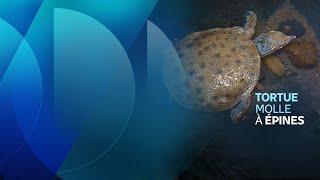 Protection de la tortue molle à épines