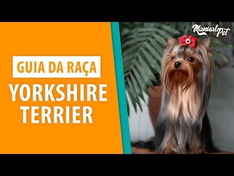 Guia de Raça: Saiba tudo sobre Yorkshire Terrier!