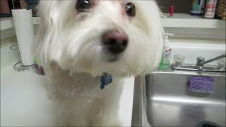 Vlog #610 Bentley's Maltese Puppy Daily Grooming Routine!  January 20  2015